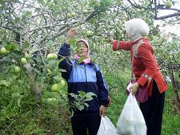 wisata petik apel di Tulungrejo